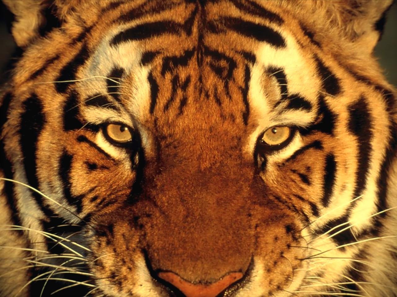 Photo De Felin  Tigre  Panth  Re       Fond D Ecran De Felin