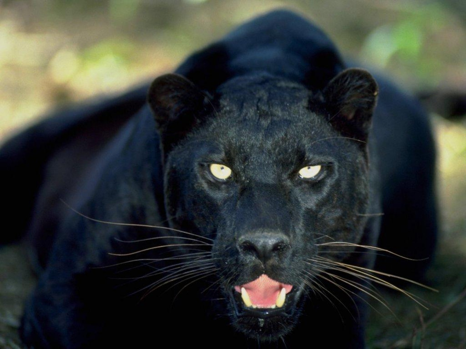 Panthère noire dans Autres felins photo-de-felin-tigre-panthere%20(9)